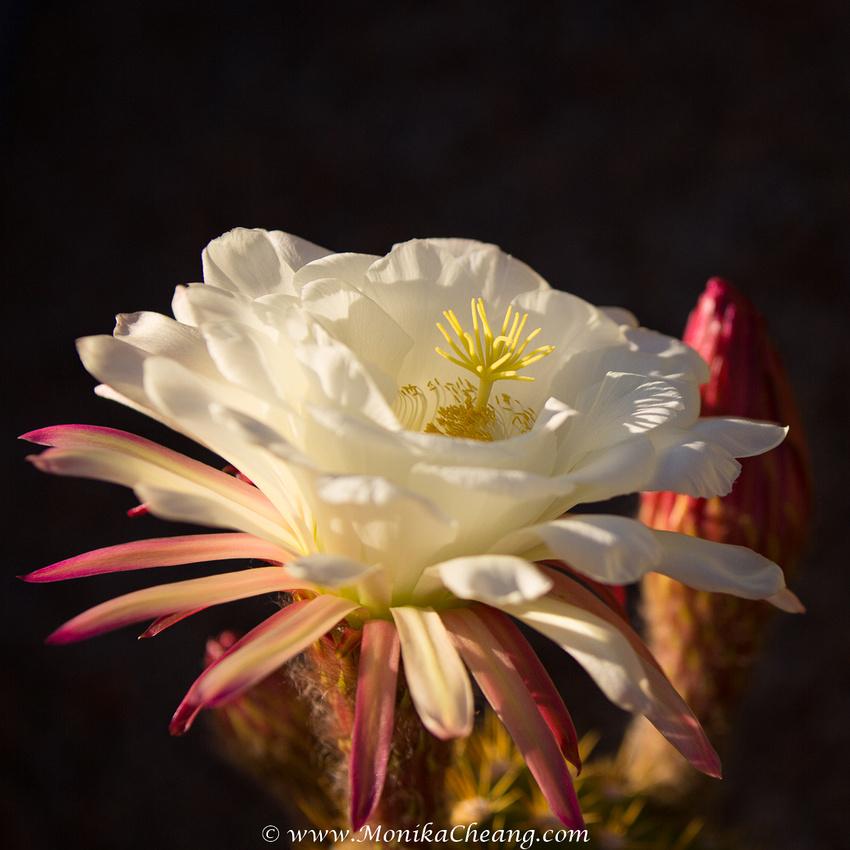 Argentine cactus in bloom